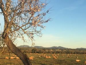 Schafe-und-Mandelblüte-bei-Campos